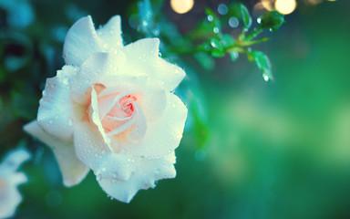 Fotoväggar - Beautiful white rose blooming in summer garden. White roses flowers growing outdoors. Nature, blossoming flower art design