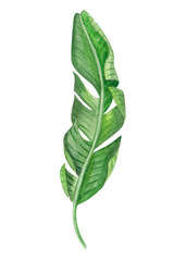 Set of Tropical banana green leaves watercolor illustration