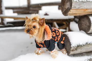 Yorkshire terrier stand on log. Portrait small dog in winter hut.