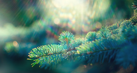 Wall Mural - Blue spruce growing in summer garden. Pine outdoors, conifer needles close-up, nature. Sun flares