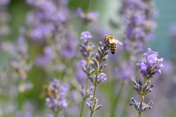 Printed kitchen splashbacks Bee The bee pollinates the lavender flowers. Plant decay with insects.
