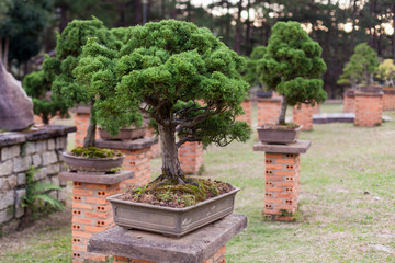Bonsai tree in the garden