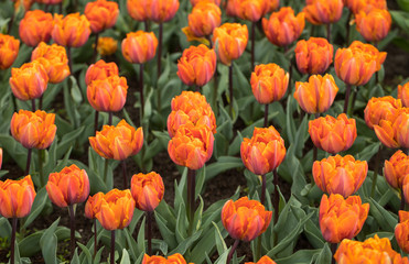 Abstract background. Orange tulips flowers blooming in a park