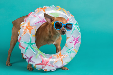 a brown dog in full growth with an inflatable circle around his neck and with blue glasses on his face, on a turquoise background, the concept of summer and rest