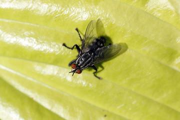 Schmeiß-Fliege auf einem Funkienblatt