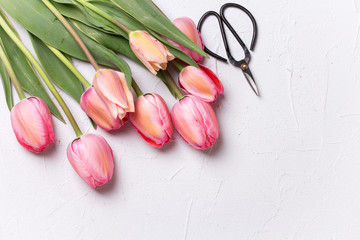 Fresh pink tulip flowers  and scissors on  textured background. Floral still life.