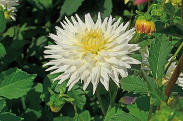 Fotobehang Dahlia Dahlia cactus white flower