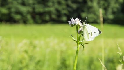 Weißer Schmetterling auf Blume