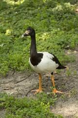 Magpie goose (Anseranas semipalmata).