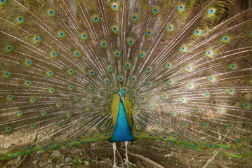 Peacock shows his feather