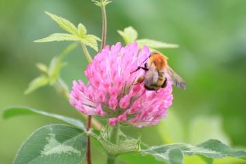紫詰草の蜜を吸うミツバチ