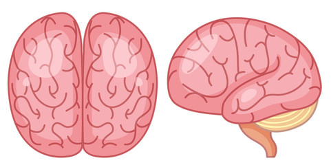 top and side view of brain