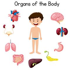 Organs of the boy