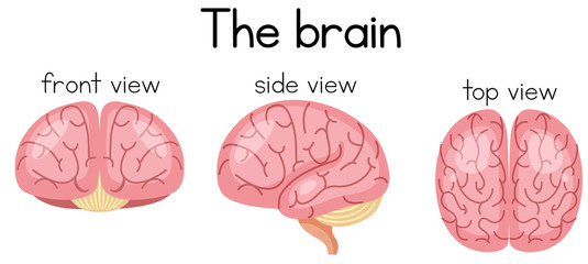 The brain from different sidea