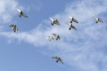flying flock of speed racing pigeon against blue sky