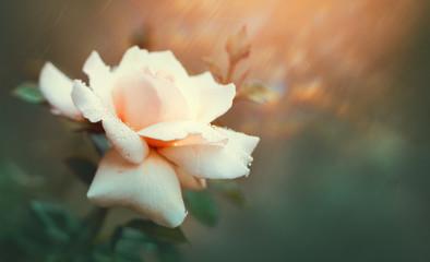 Fotoväggar - Rose blooming in summer garden. Pink roses flowers growing outdoors. Nature, blossoming flower art design