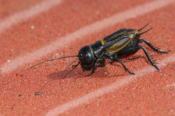 Field Cricket on the athletic track