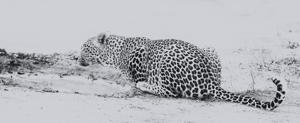 Leopard drinking water from small pool after hunting artistic conversion Wall mural