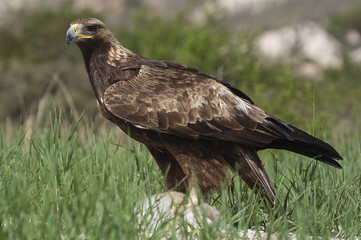 golden eagle (Aquila chrysaetos), with a newly hunted rabbit