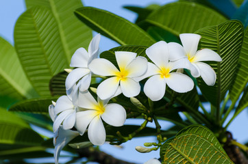 Wall Mural - Frangipani flowers Flower bouquet White background with green leaves