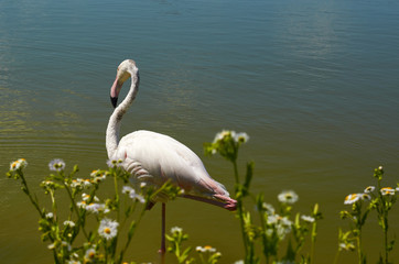 Pink flamingo standing in the pond with flowers.