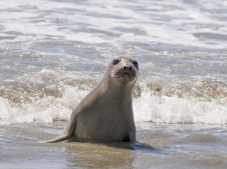 Elephant Seal Pup in Surf, Point Reyes
