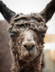 Curious Black Baby Alpaca Looking Directly at You