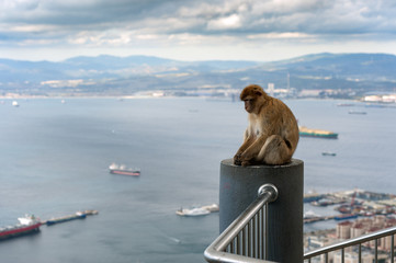 Monkey is sitting on balcony and looking at bay of Gibraltar