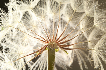 Dandelion seed head with dew drops, close up