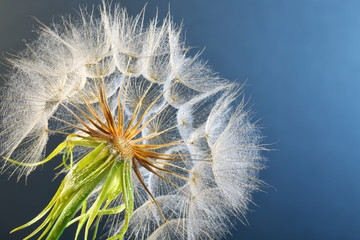 Dandelion seed head with dew drops on color background, close up