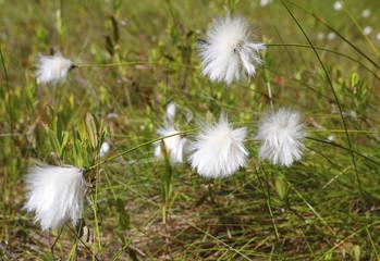 Cotton grass bog. Close up cotton grass, shallow DOF.