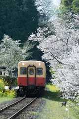 Kominato Tetsudo Train and Sakura cherry blossom in spring season. The Kominato Line is a railway line in Chiba Prefecture, Japan