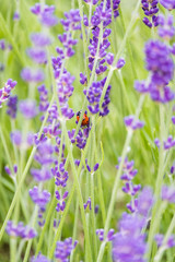 tiny ladybug hiding in the lavender field
