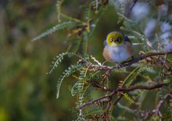 Little waxeye bird sitting in a kowhai tree in winter