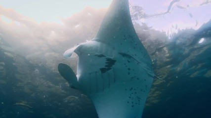 Wall Mural - Mantaray underwater making turn in the ocean, water surface on background