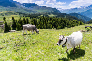 Wall Mural - idyllic mountain landscape in the summertime with cows and snow-capped mountains in the background