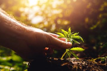 Man farmer hold hand Bush green marijuana. Cannabis plantation in sunlight