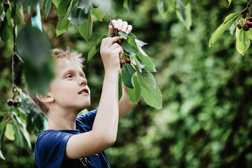 Young boy 7-9 years old picking red ripe cherries direct from the cherry tree in the garden. Green background, copy space