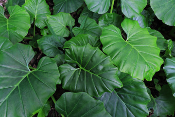 Colocasia esculenta var. aquatilis Hassk or Elephant ear, Cocoyam, Dasheen, Japanese taro