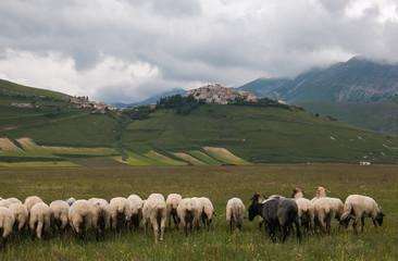 Gregge di pecore nel Pian Grande a Castelluccio di Norcia