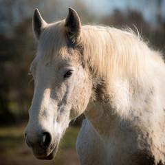 Portrait d'un cheval blanc