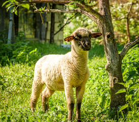 Our Sheep