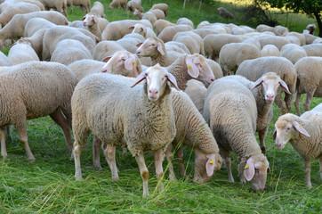Schafe in der Rhön