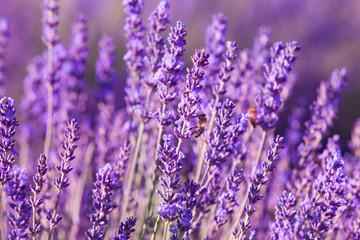Printed roller blinds Lavender Impollinazione delle api, miele di lavanda, Provenza, Francia