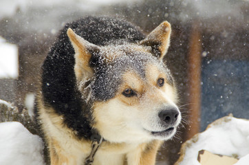 Dog in the snow. Siberian rock