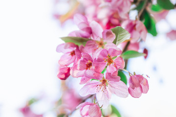 Pink flowers blossom on tree. Nature beautiful floral pastel background with copy space