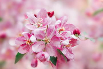 Beautiful tender pink flowers blossom on tree. Nature floral pastel  background