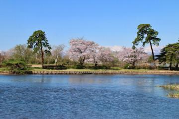 大池公園の桜(福島県・矢吹町)