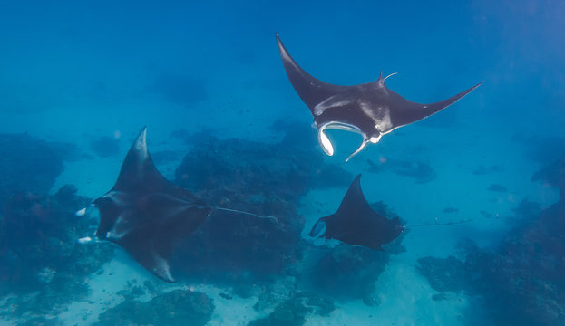 Three manta rays doing a manta train in a love parade on the great barrier reef in Australia
