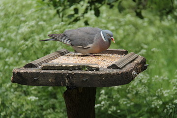 A Wild Pigeon Feeding from a Wooden Bird Table.